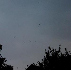 Chimney Swifts Flying Overhead
