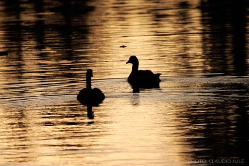 DucksOnLake2