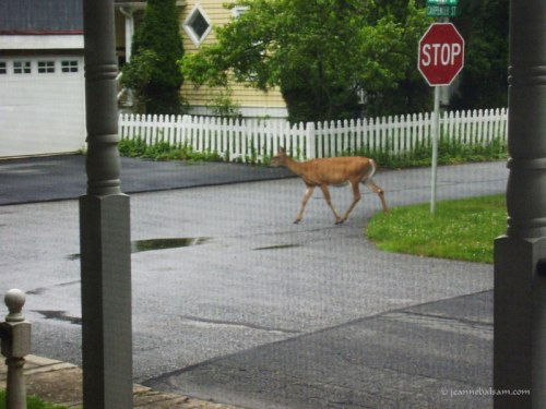 NeighborhoodDeer-3
