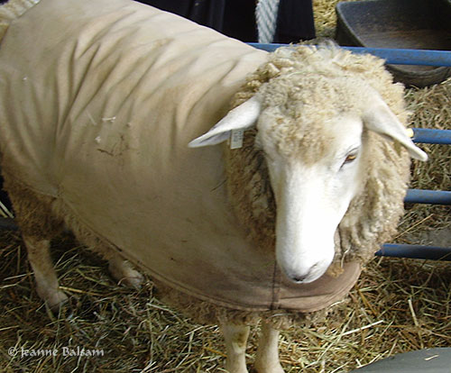 SheepShow-Coat2