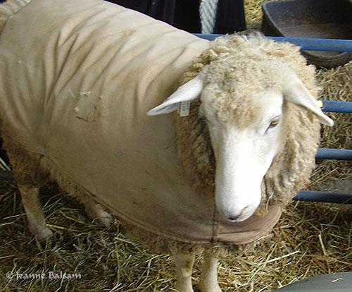 SheepShow-Coat2