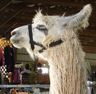 SheepShow-Llama2