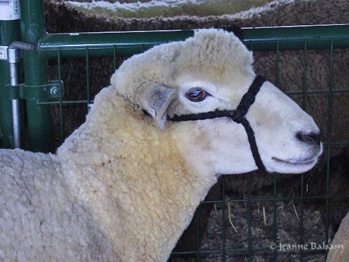 SheepShow-WhiteSheep2