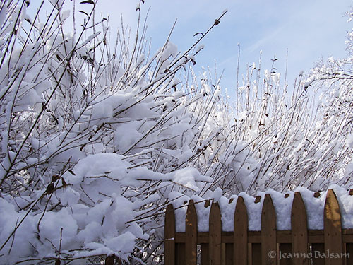 Snow-Feb4-BushesFence2