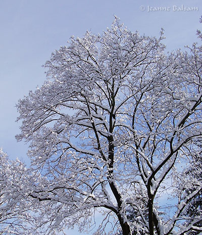 SnowFeb4-Tree2