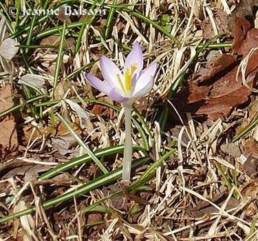 Spring-LoneCrocus2