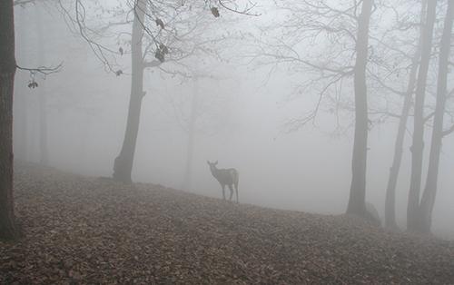 FoggyWoods-Deer2