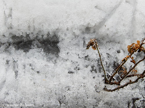 WinterTextures-RoseBush2