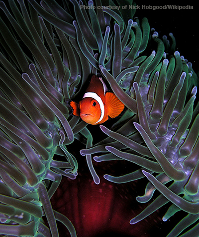 Clownfish-Nick Hobgood2