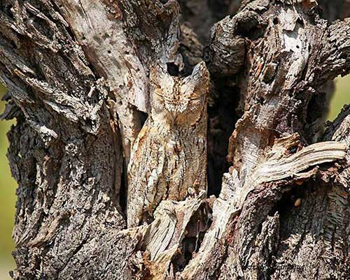 Owl-b