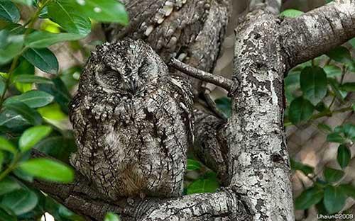 Owl1-b