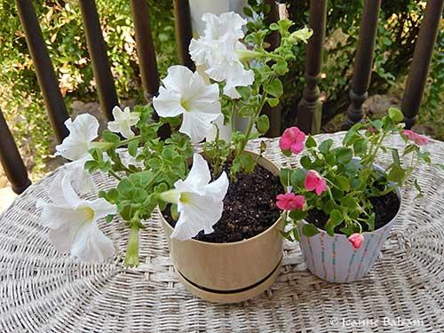 Flowers16-PetuniasImpatiens2